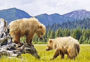 Bears in Denali