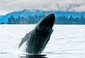 Whale breaching in the Alaskan Ocean