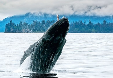Whale Breaching in the Alaskan Ocean Near Seward