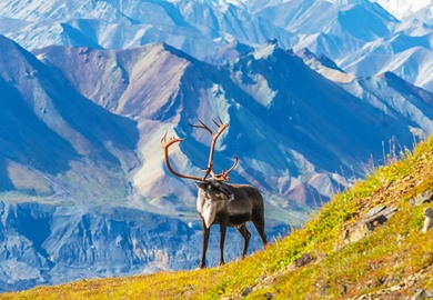 Caribou Deer on Mount Denali
