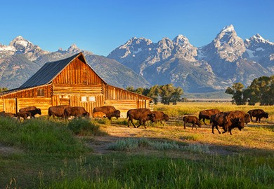 Bison Herd Moulton Barn Grand Teton National Park