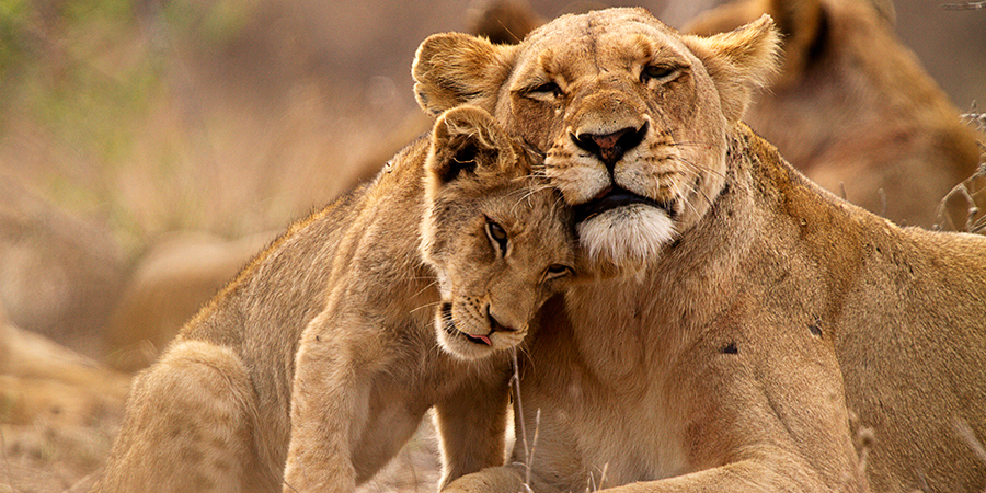Lioness and cub in the Kruger NP