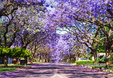Jacaranda Trees Pretoria South Africa